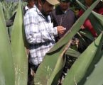 Estado de México destiló mezcal antes que Oaxaca