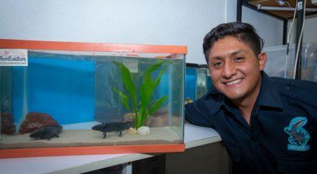 Estudiante UAEM logró protección y supervivencia de 500 ajolotes